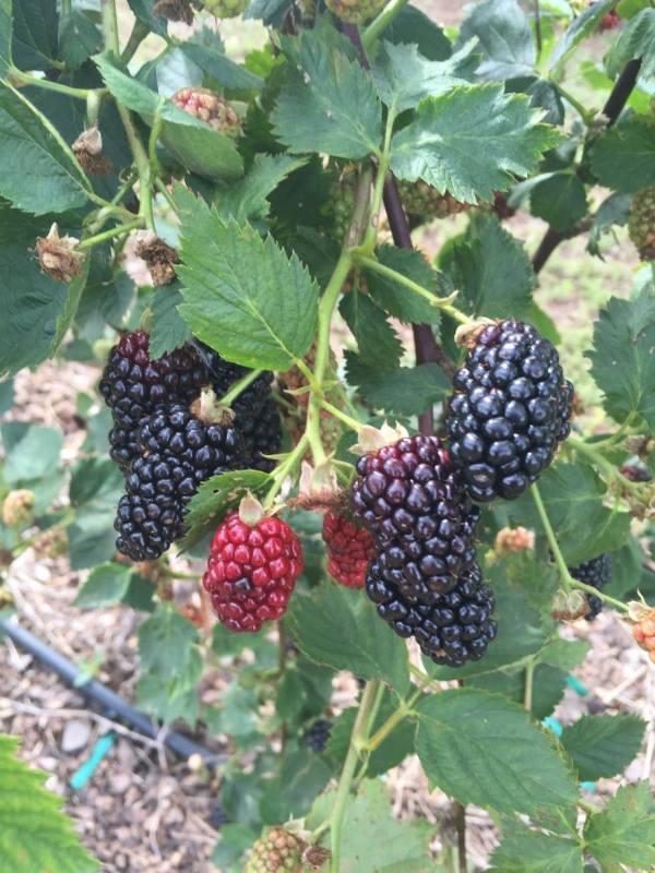 Blackberries at a u-pick farm near Birmingham