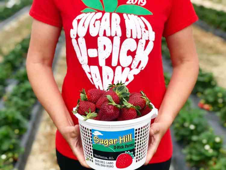 So many strawberries at u-pick farms near Birmingham