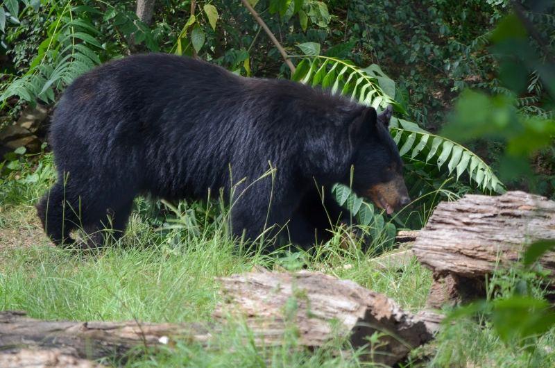 Black bear walking through grass at The Birmingham Zoo