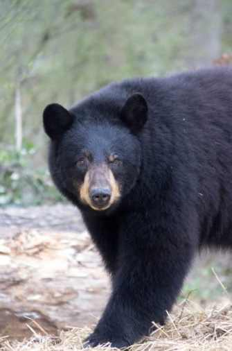 Black bear staring