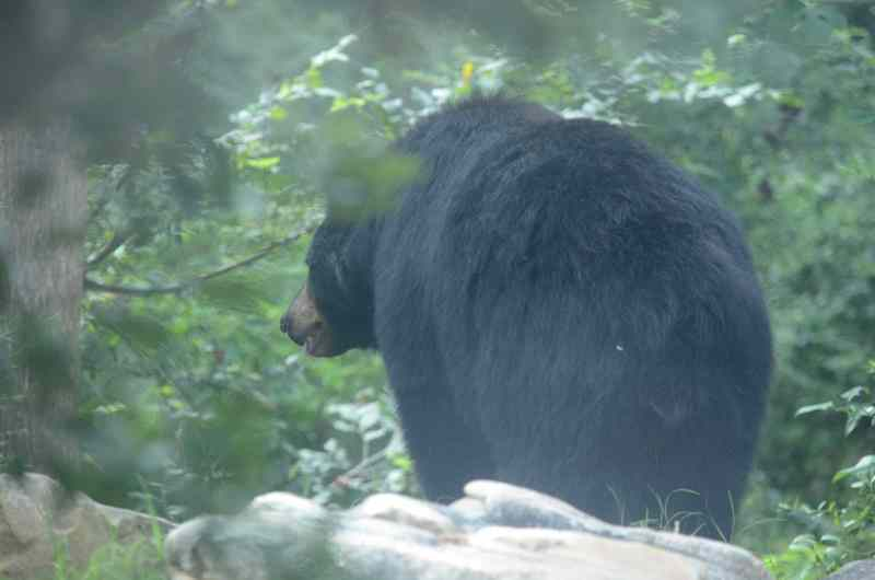 Black bear turned away and looking at tree