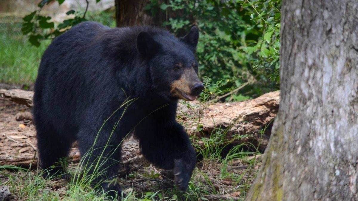 As bear sightings increase in Alabama, here's what you need to know