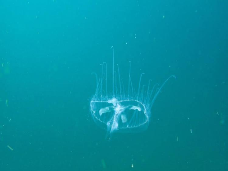Freshwater jellyfish swimming in quarry lake
