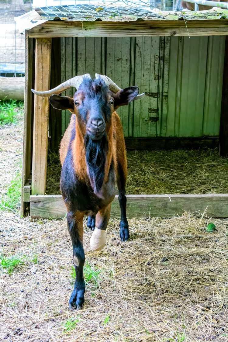Valentino the Goat awaiting his prosthetic leg at Serenity Animal Farm