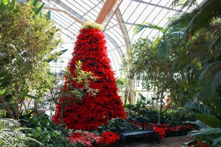 poinsettia tree at Birmingham Botanical Gardens, a way to enjoy the holiday weekend in Birmingham