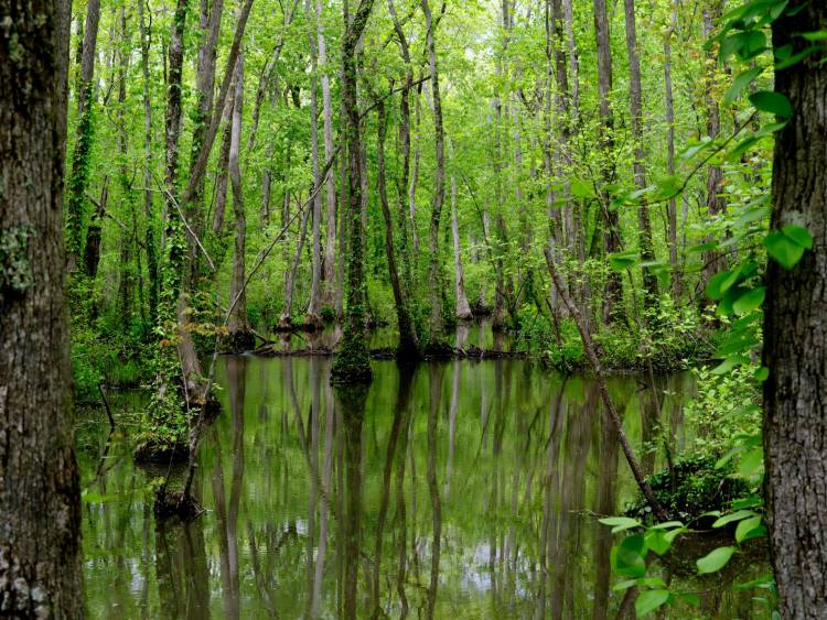 Trees growing in the swamp at Ebenezer Swamp