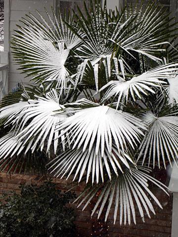 Avondale Snow Palms - by James Faivre