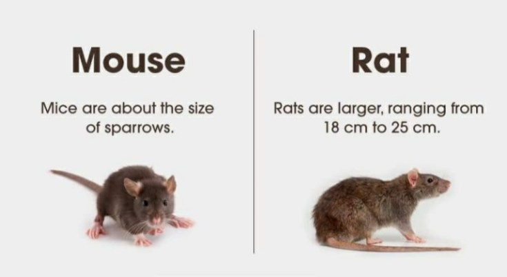 what is difference between mouse and rat