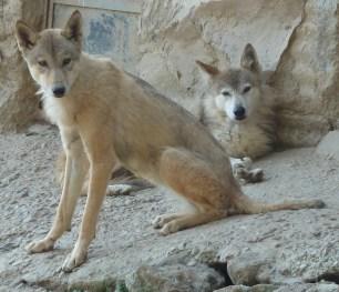 Padmaja Naidu Himalayan Zoological Park Himalayan wolf