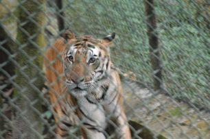 Padmaja Naidu Himalayan Zoological Park Tigers