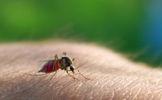 WHAT IS INTELLIGENCE? MAN Vs INSECT. CAN MAN APPLY HIS BRAIN POWER TO STOP THIS MOSQUITO FROM FEEDING ON HIS BLOOD?