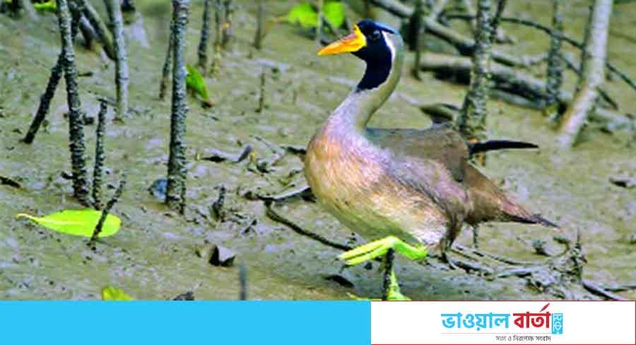 মহাবিপন্ন প্রজাতির তালিকায় সুন্দরবনের 'সুন্দরী হাঁস'