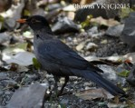 Indian blackbird
