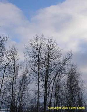 Here is some tree tops with clouds in the background.