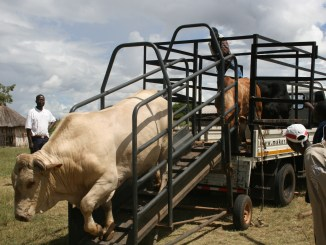 Government Suspends Importation of Live Stock Due To Limpopo Foot and Mouth Disease