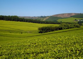 Tanganda Tea Production Declines Due to Adverse Weather
