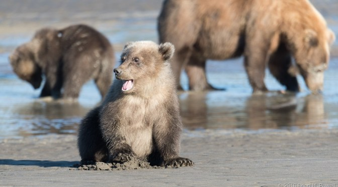 Coastal Brown Bears of Lake Clark