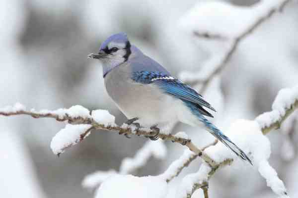 Blue Jay - Winter Birds | BHWP.org