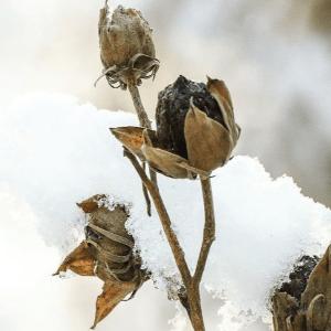Swamp rose mallow (Hibiscus moscheutos) | BHWP