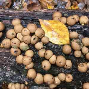 Puffball (Lycoperdon sp.) | BHWP