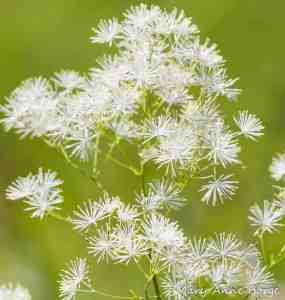 Tall Meadow Rue (Thalictrum pubescens) Image