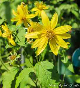 Thin-leaved Sunflower (Helianthus decapelatus) Image