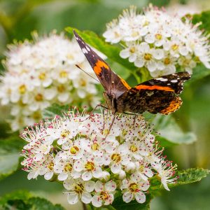 Ninebark (Physocarpus opulifolius) with Red Admiral, Photo: Mary Anne Borge