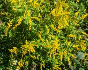 Goldenrod, wrinkle-leaf (Solidago rugosa