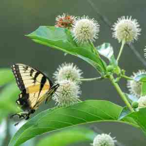Buttonbush (Cephalanthus occidentalis) Image
