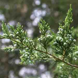 Cedar, red (Juniperus virginiana) 2 to 3 ft plant Image
