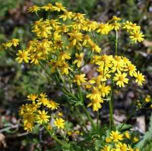 Round-Leaved Ragwort (Packera obovata) Image