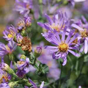 Smooth Blue Aster (Symphyotrichum laeve) Image