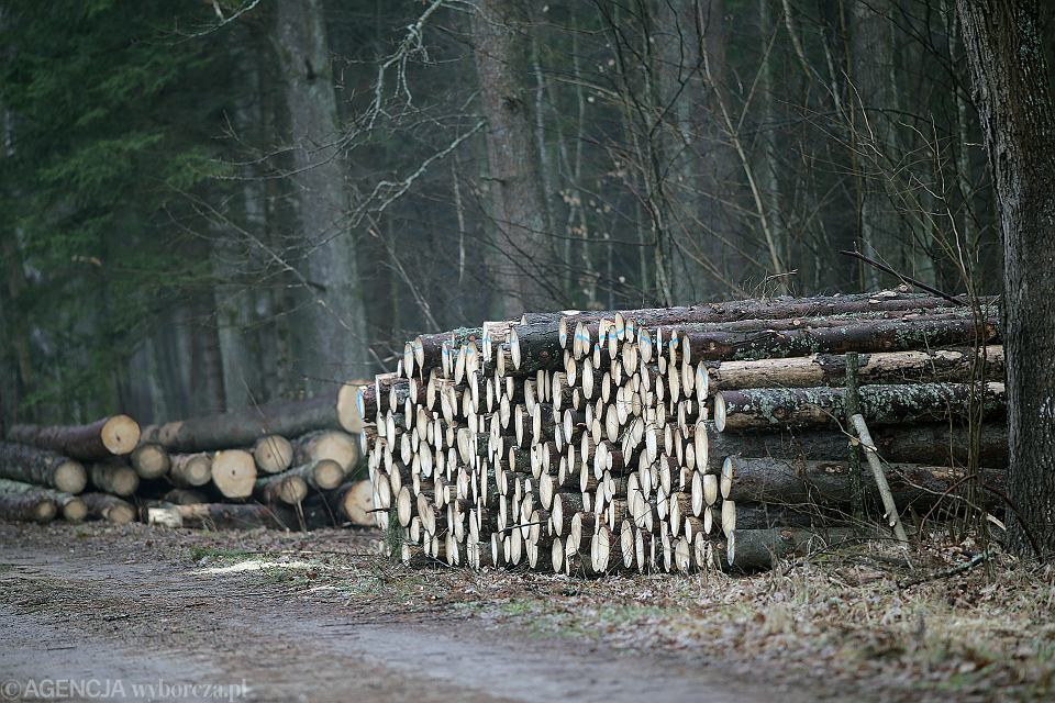 Wycinka drzew w Puszczy Białowieskiej