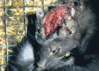 Otwarte Klatki: hodowca norek i radny PO znęca się nad zwierzętami. Reakcja? Proces