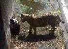 New Delhi: Biały tygrys rozszarpał w zoo mężczyznę. Nikt nie ratował, wielu filmowało