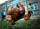 Łódzka szkoła zbudowała... kurnik. I uratowała kury z ubojni