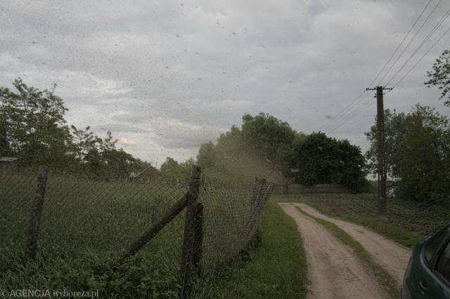 Plaga komarów