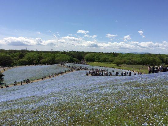 ひたち海浜公園ネモフィラ青い花開花状況画像