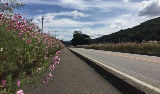 2017年佐久コスモス街道コスモスまつり開花状況画像