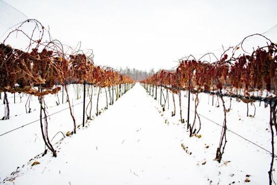 ice-wine-ghiaccio-viti