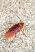 -cockroach