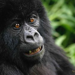 gorilla-safari-tours-in-uganda