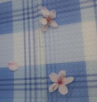 レジャーシートの上に木から落ちてきたちょっと汚れた桜の花2つと花びら1枚のお客さん