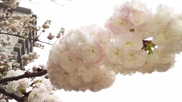 造幣局の桜5