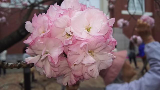 造幣局の桜8