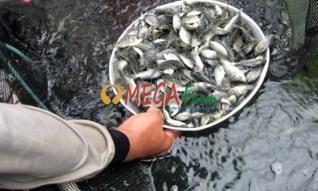 Bibit ikan Nila Gesit