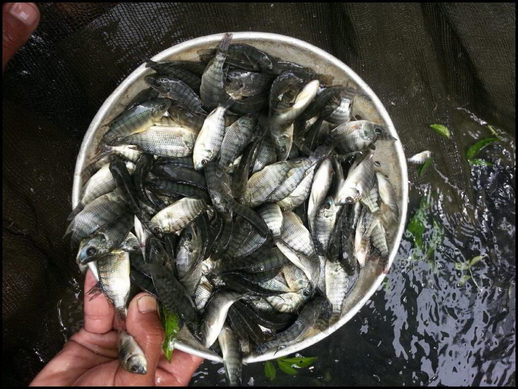 bibit ikan nila murah