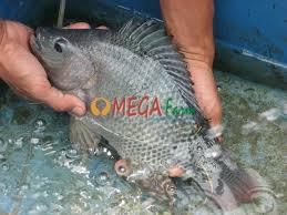 Bibit Ikan Nila Kualitas Unggul Harga Grosir Murah