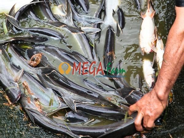 Jual Bibit Ikan Patin Terdekat