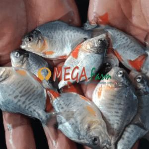 bibit ikan bawal kualitas unggul